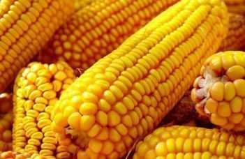 8 segredos do milho 2