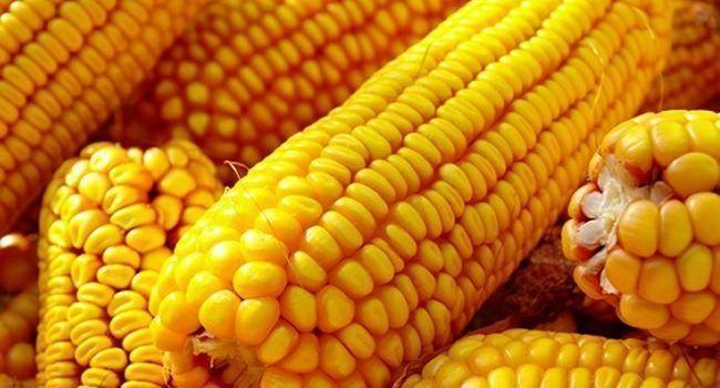 8 segredos do milho