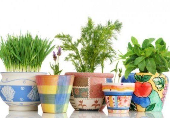 Como plantar cheiro verde em sua própria casa